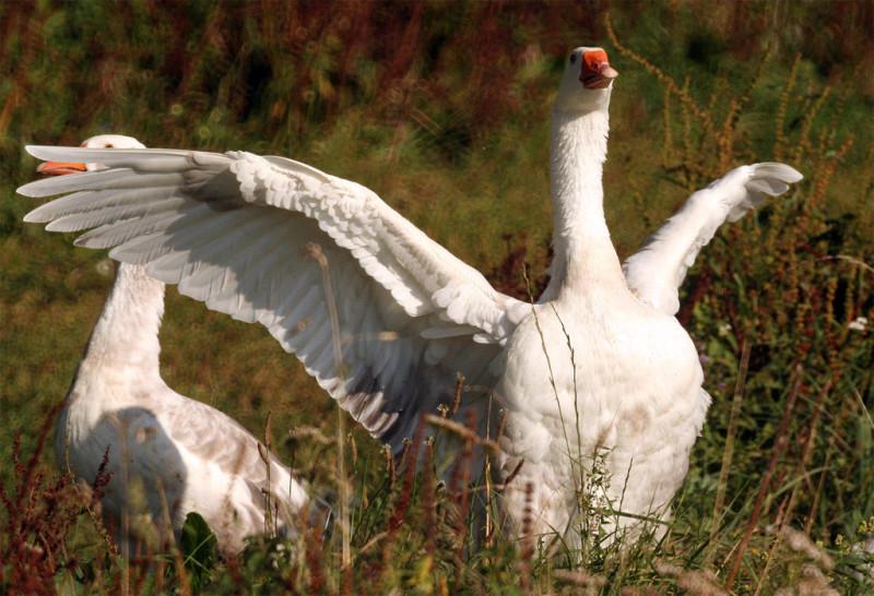 Гуси белого цвета в поле