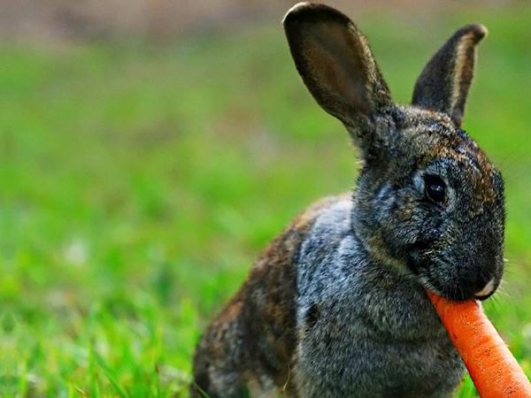 Серый ушастик ест морковь