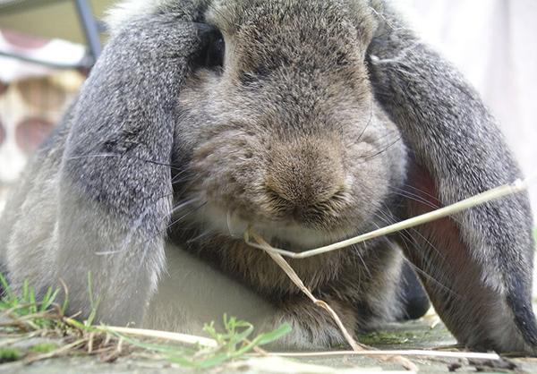 Серый кролик смотрит на траву