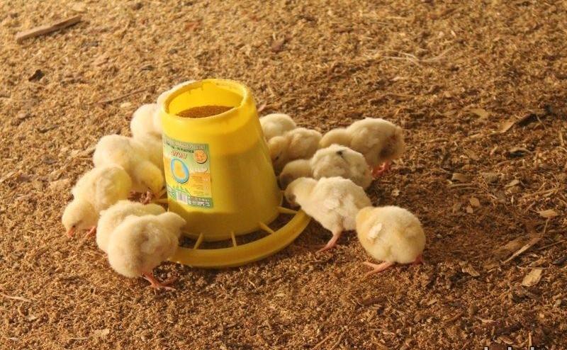 Цыплята едят из кормушки