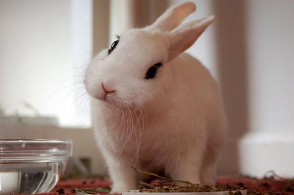 Белый крол и миска с водой