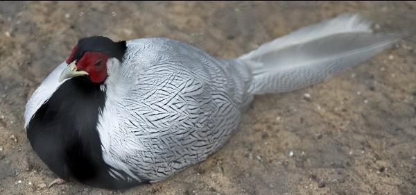Мургабский фазан сидит на земле