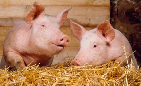 Две свинки в сене