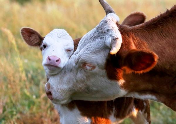 Рыжая буренка и теленок