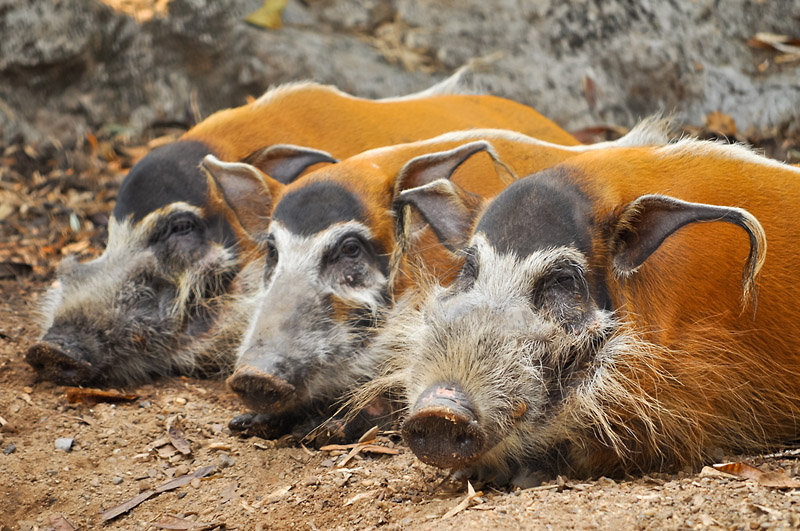 Три свинки отдыхают