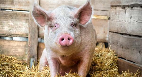 Свинья в хлеву