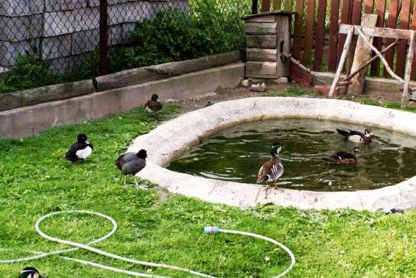 Водоем для уток во дворе