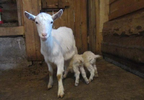 Мама с двумя козлятами