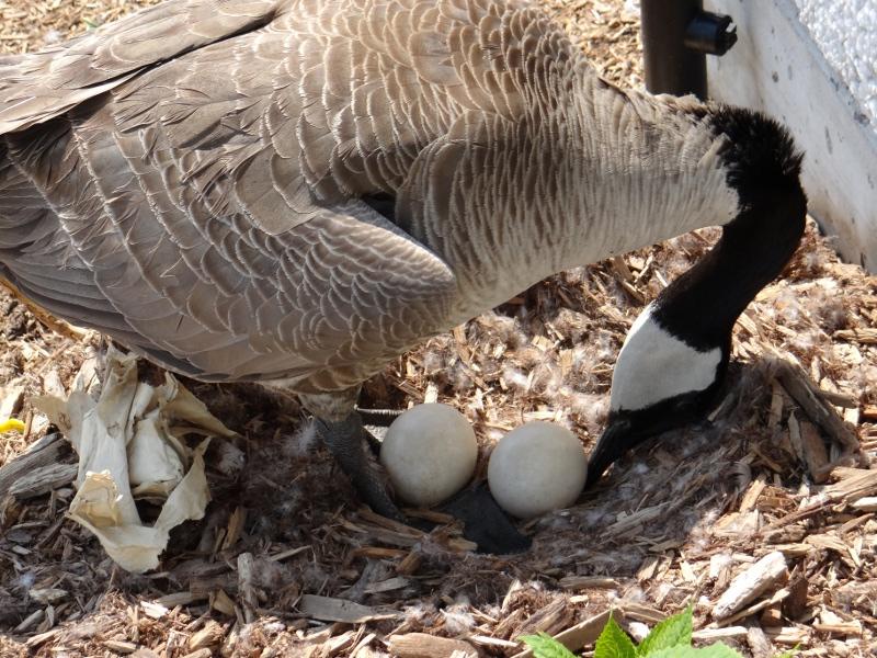 Гусыня смотрит на яйца