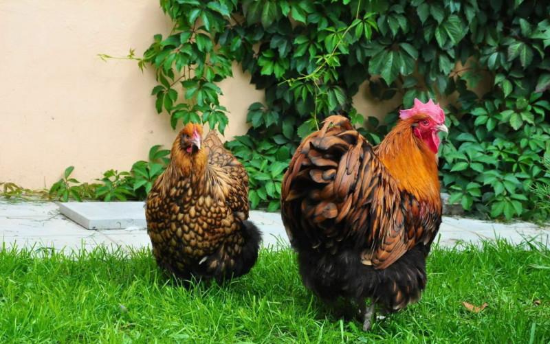 Курица и петух породы Орпингтон