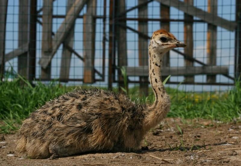 Молодой страус лежит на земле