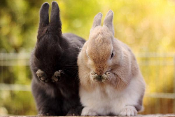 Черный и бежевый кролик