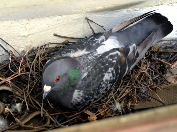 Голубка в гнезде