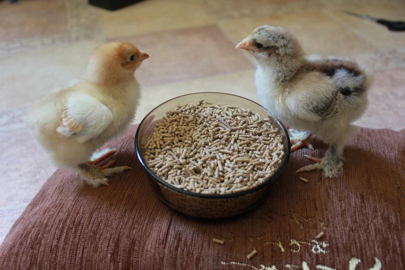 Цыплята клюют корм из чашки