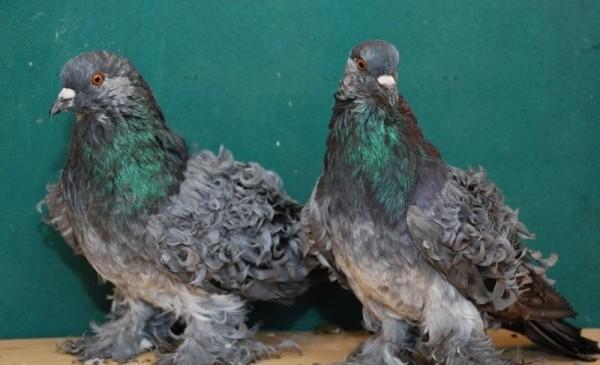 Два голубя породы Курчавый
