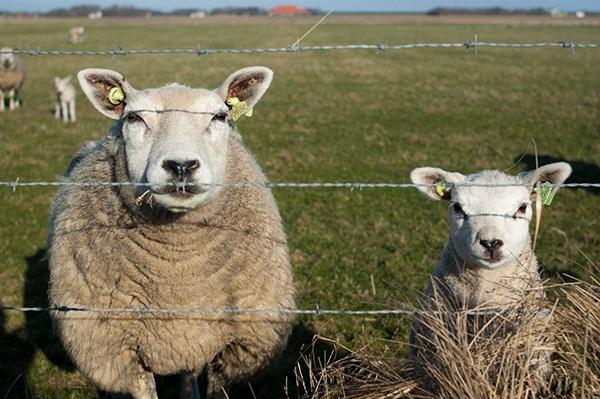 Две овцы в загоне