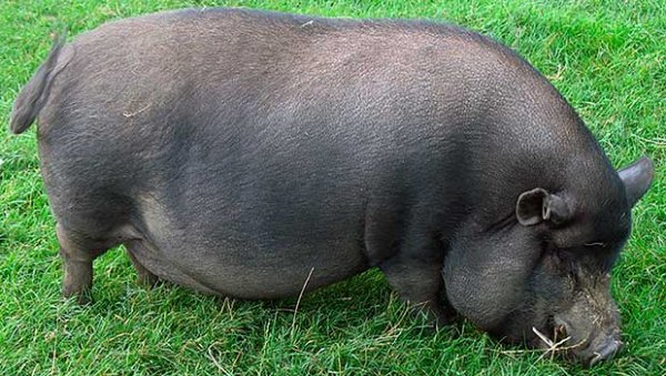 Азиатская свинья на траве