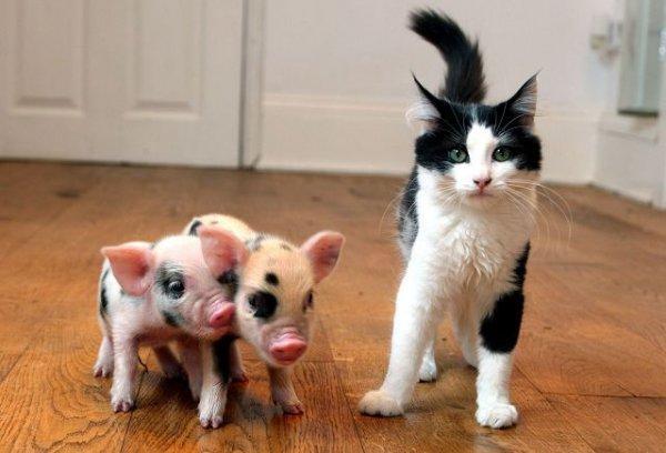 Две свиньи и кот