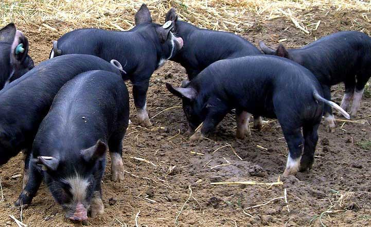 Кемеровские свинки