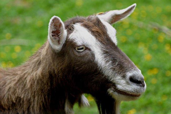 Тоггенбурская порода коз