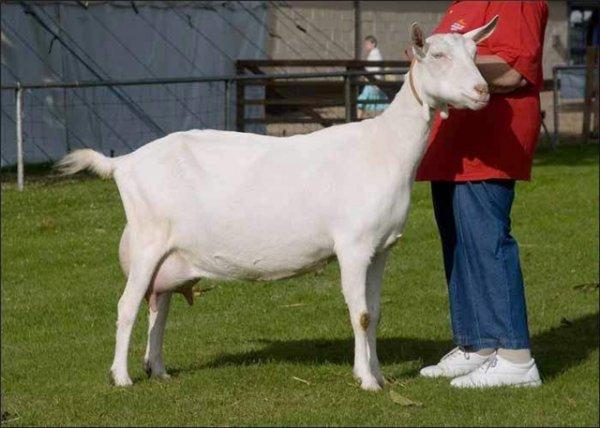 Зааненская коза и человек