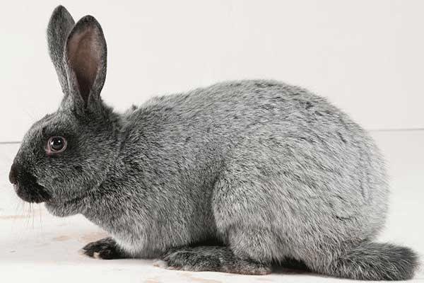 Здоровый кроль Серебристой породы
