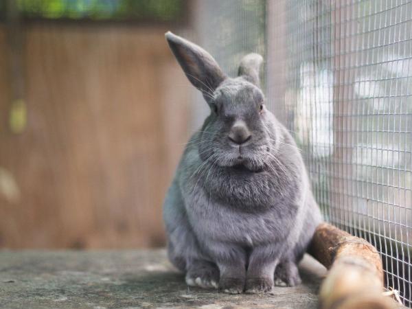 Серебристый кроль