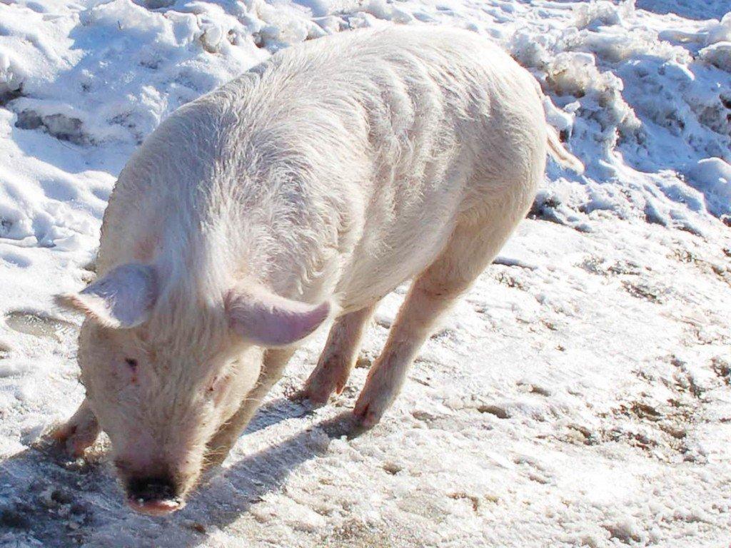 Белая свинья на снегу