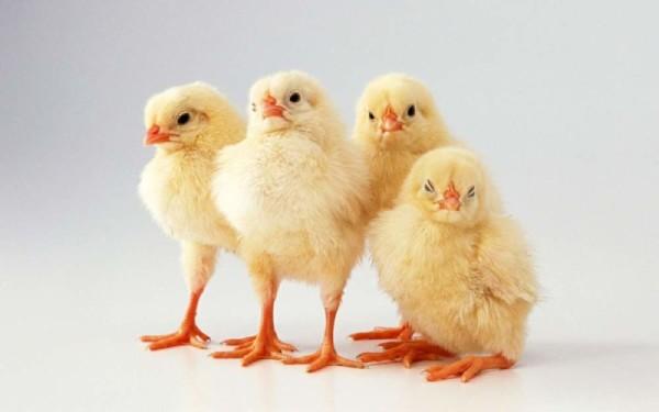 Четыре цыпленка крупным планом