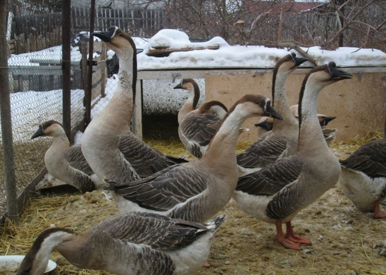 Кубанские гуси во дворе