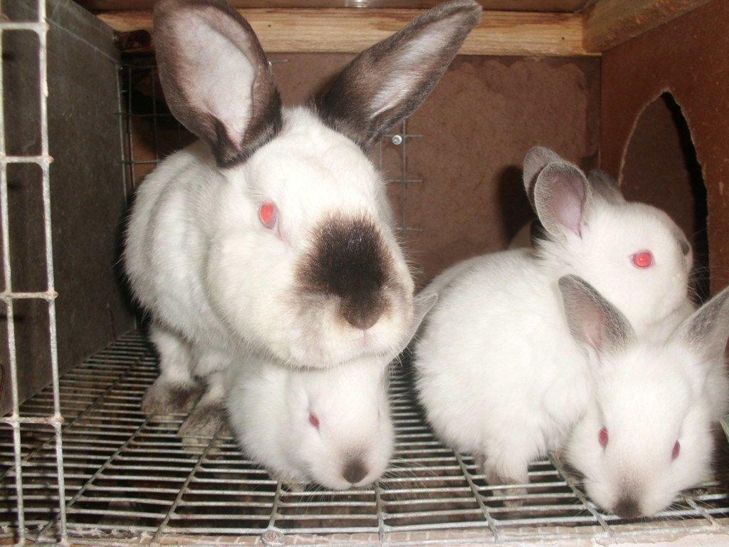 Несколько русских горностаевых кроликов