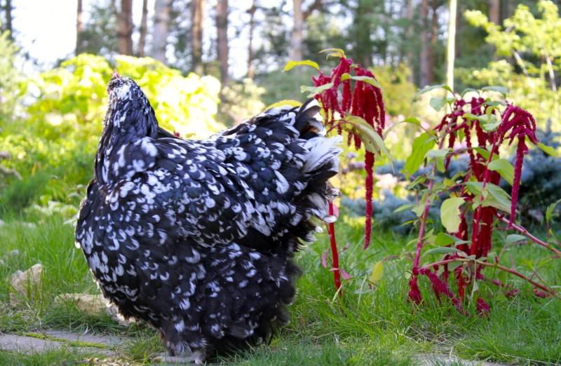 Мраморная курица Орпингтон на траве