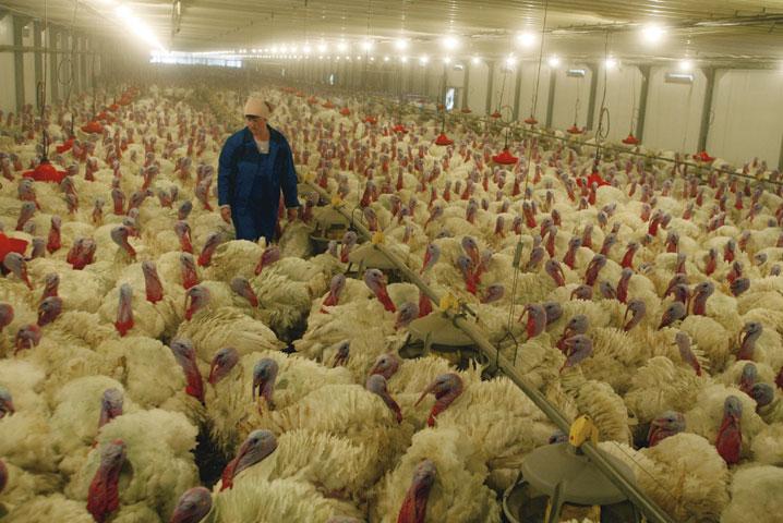 Разведение птиц в промышленных масштабах