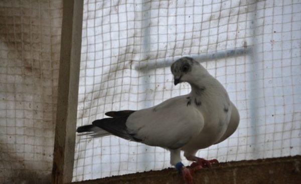 Венгерский голубь высоколет