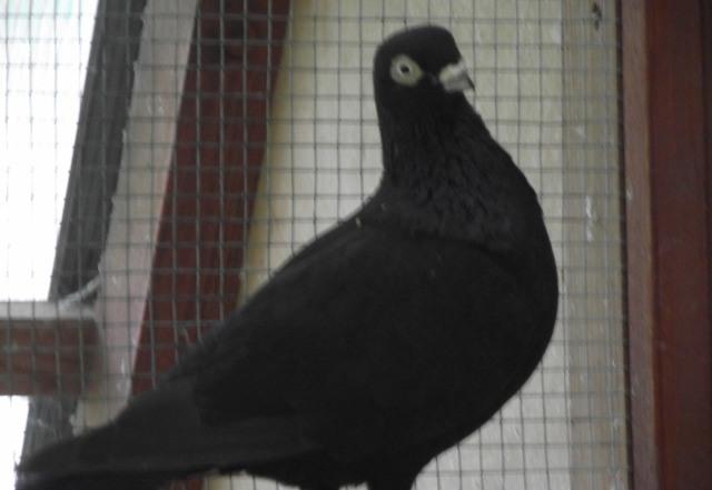 Высоколетнтый голубь венгр