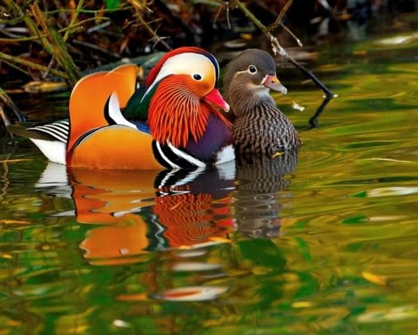 Яркий самец утки со своей парой