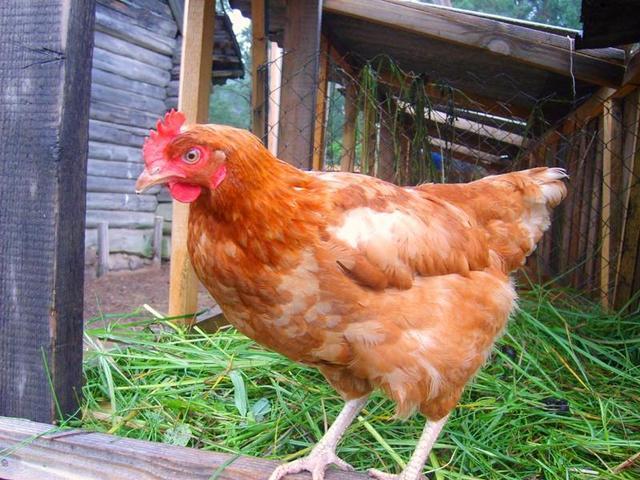 Сердитая курица стоит на балке