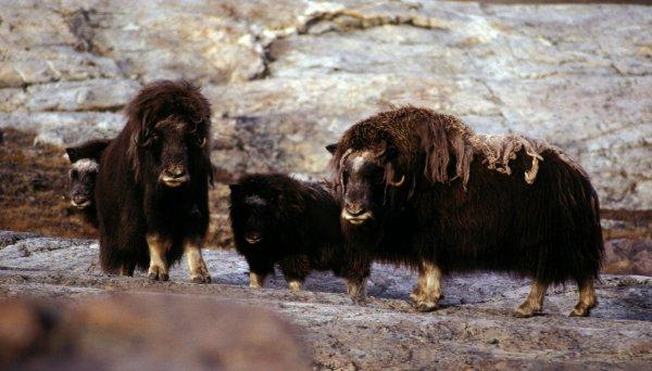 Овцебыки с детёнышами