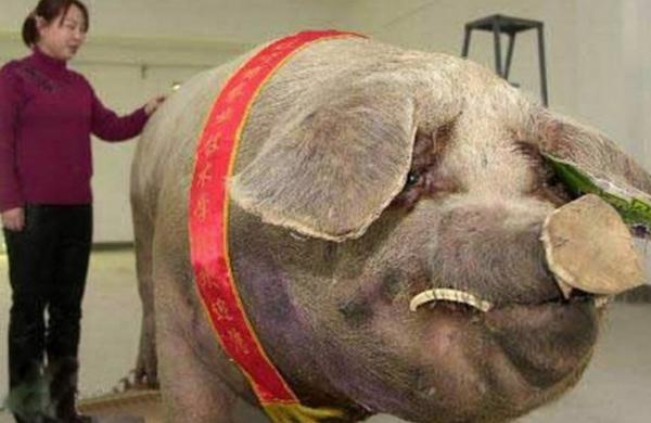 Обмер огромной свиньи