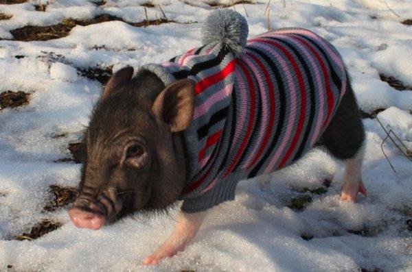 Карликовая свинья в одежде зимой