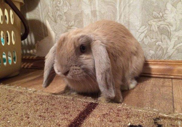 Карликовый кролик - вислоухий баран