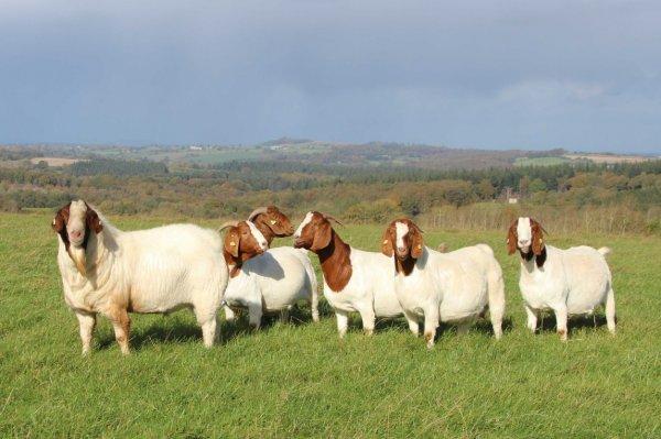 Бурская порода коз