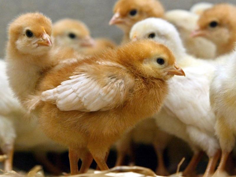 Маленькие цыплята Тетра собрались в кучу