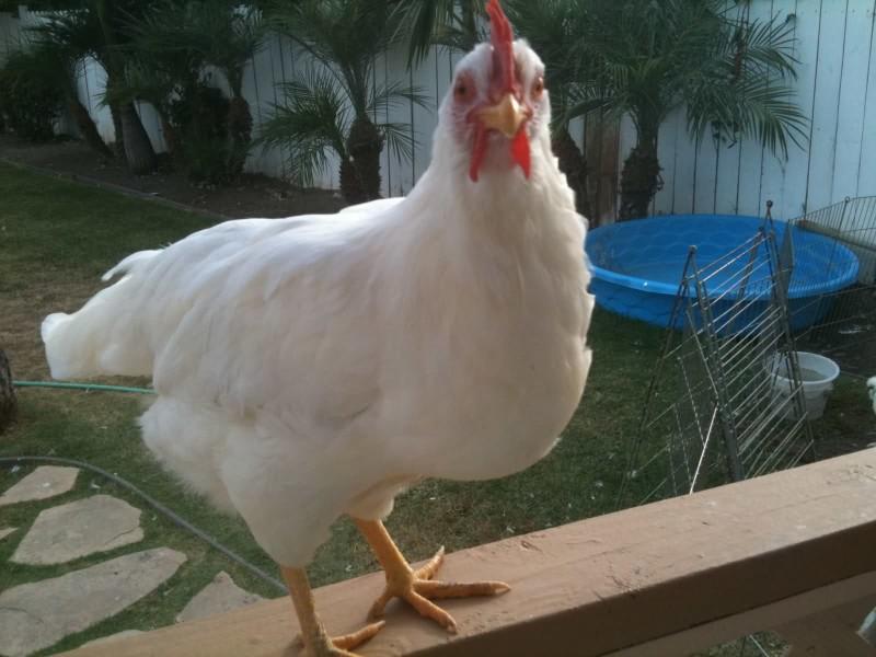 Курица породы Леггорн Белый