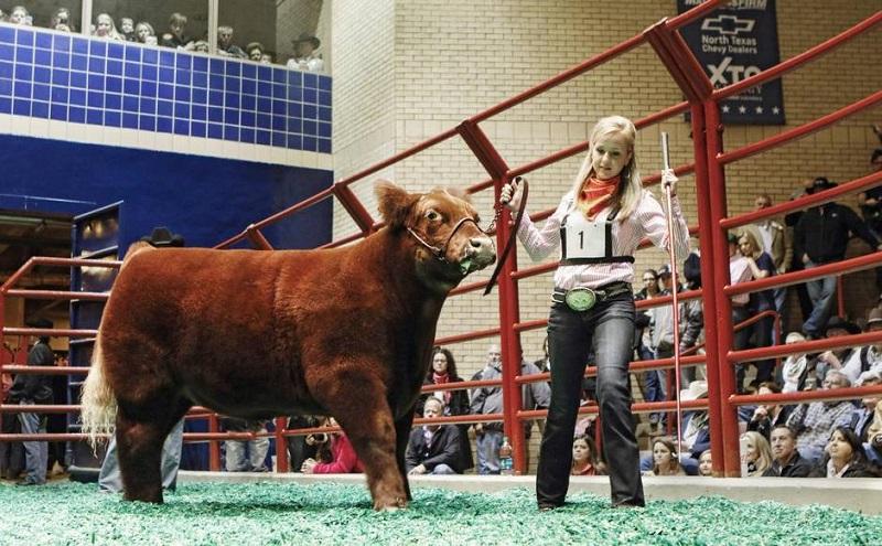 Плюшевый теленок на выставке