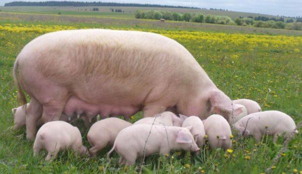 Свинка с детенышами на выгуле