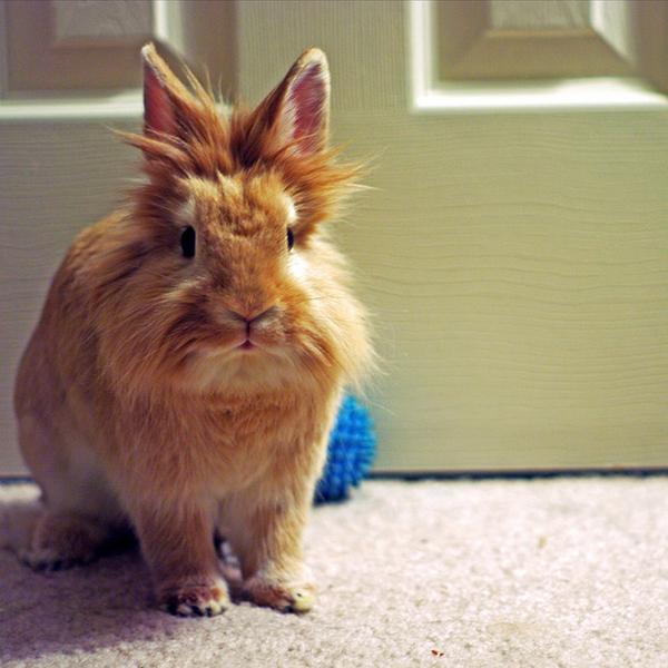 Рыжий крольчонок гуляет по квартире