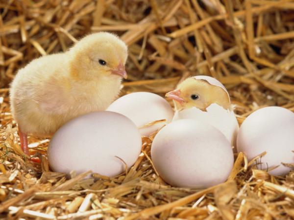 Два цыпленка и белые яйца на сене