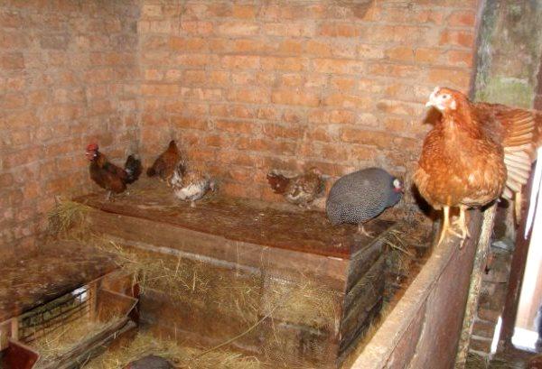 Домашние птицы в курятнике