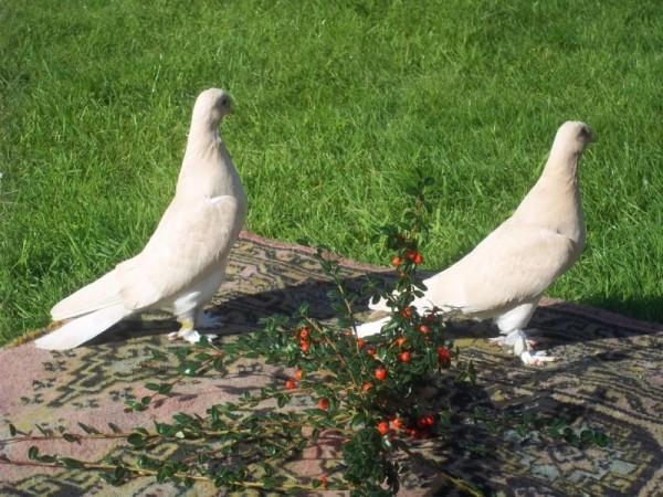 Два голубя Такла